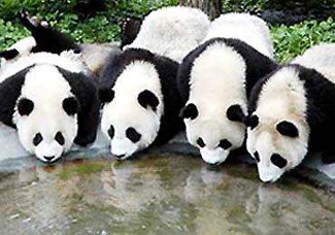 Binatang Panda